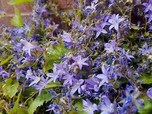 Campanula Poscharskyana -Perennial Alpine Rockery Ground-cover Plant in 9cm Pot