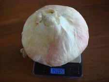 🔥 🥗 AILSA CRAIG Riesen-Zwiebel * 50 Samen *Allium bis 2,5 kg Gemüse mild
