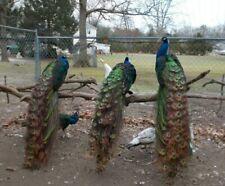 India Blue/BlackShoulder Peafowl/Peacock hatching eggs 2 +