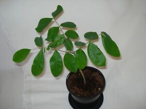 Afzelia quanzensis tree seedling rare exotic future bonsai African