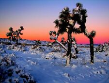 Yucca brevifolia - Joshua Tree - 15 Fresh Seeds
