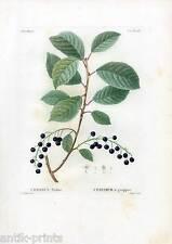 CERASUS Padus-Vogelkirsche-Pflanze-Baum - Farbstich - Redoute-Lemaire 1810