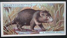 Tasmanian Devil    Original Vintage Colour Card  # VGC