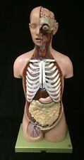 SOMSO Male Torso with Head and Open Back AS23/1 Anatomical Model AS 23/1