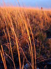 300 Ornamental LITTLE BLUESTEM GRASS Seeds +Gift CombSH