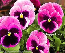 PANSY PINK - 250 seeds - BIENNIAL FLOWER - Viola wittrockiana
