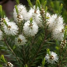MELALEUCA alternifolia Oil Tea Tree Seeds (N 107)