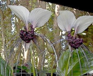 Bat Flower Plant (tacca chantrieri/Leontopetaloides) reliable & viable seeds
