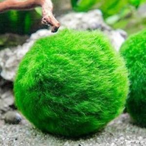Marimo Moss 3 Balls 1 inch (1-3cm) (Cladophora) Live Plant Aquarium Tank In USA
