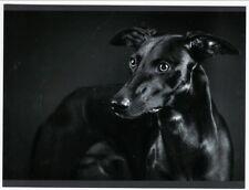Postcard Black Whippet Dog Close View