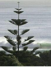 Araucaria Norfolk Island Pine Tree Evergreen Indoor House plant!Rare,fresh seeds
