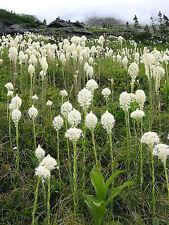 100 BEAR GRASS aka BEAR LILY Beargrass Ornamental Xerophyllum Tenax Flower Seeds