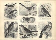 Stampa antica UCCELLI BALLERINA ALLODOLA FRINGUELLO TORDO 1890 Old antique print