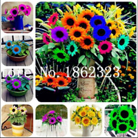 Mini Multi-Colored 30 Pcs Seeds Bonsai Sunflower Perennial Flowers Potted Garden