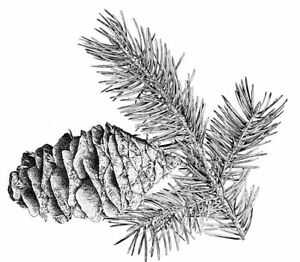 Christmas - Pine Cones #3 Unmounted Clear Stamp Approx 60x53mm