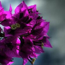 200Pcs Rare Bugville Multicolor Fresh Seeds Flowers Annuals Autumn Home Garden