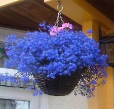 Flower Seeds Verbena x Hybrida Blue from Ukraine