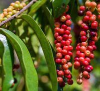 gesundes Obst im Garten exotisch winterhart frosthart i! MAO-LUANG-BEEREN !i