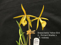 Rare orchid species (seedling) - brassolaelia yellow bird