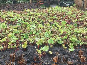 3 x Rhubarb Crown Victoria - Vegetable Plants