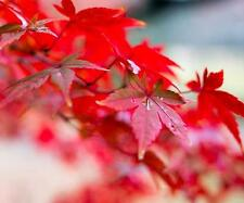 30 Seeds / Pack Beautiful Momiji Japanese Red Maple Tree Autumn Hermetic Package