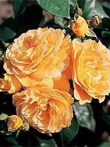 Bernstein Rose,  aprikosenfarbener Hit! im Topf!!