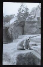 Glass Magic Lantern Slide Photo Italy Rome Zoo Polar Bear Newton