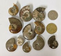 Large Cretaceous age AMMONITE FOSSIL COLLECTION From Madagascar Lot (#L3168)