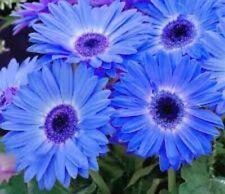 BlUe GeRBeRa DaiSY great pot plant ornamental 12 seeds