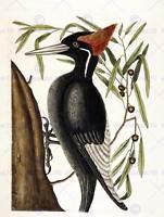 PAINTING ANTIQUE NATURE BIRD CATESBY WHITE BILLED WOODPECKER ART PRINT LAH494B