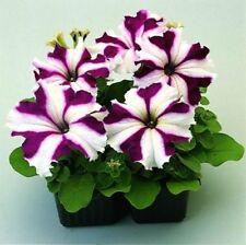 20 large bloom petunia seeds Mirage Burgundy Star 6-9cm flowers. Deep burgundy w