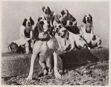 D5091 Numerosa famiglia Bracca italiana - Stampa d'epoca - 1938 vintage print
