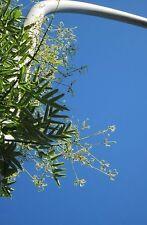 """japanischer Schnurbaum Sophora japonica 10 Exotische Samen """"ALLES NUR 1 EURO"""""""