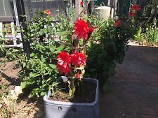 red dragonfruit cuttings, succulent, pitaya plant