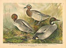 Ducks, Waterfowl, Coastal Birds, Vintage 1905 German Antique Art Print #4