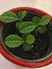 Madagaskarjuwel Euphorbia leuconeura Spuckpalme Ableger Setzling Sämling