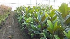 Mangolia grandiflora winterharte Magnolie ca. 80 - 100 cm