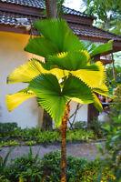Wünderschöne breite Palmblätter die VANUATA-PALME: meine Lieblings - Palme.