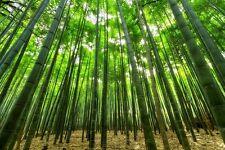 Bambù 30 Semi di Bamboo,Phillostachys Gigante Moso. Mille modi Sul suo uso.Doc