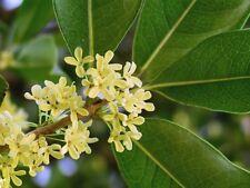 Osmanthus fragrans SWEET OLIVE Shrub Seeds!