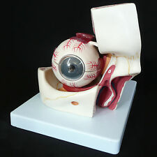Anatomical Human Eye with Orbit Model - Giant Eyeball and Eyelid Medical Anatomy