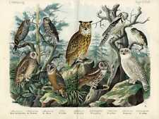1868 HANSELMANN HC LITHO barn owl, tawny owl, eagle owl, snowy owl, scops owl ..