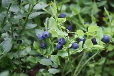 Bilberry / Blaeberry - Vaccinium Myrtillus - 25 seeds - Healthy Berries