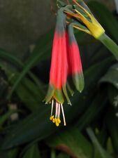 PHAEDRANASSA CUENCANA, Hippeastrum Relative, NEW Species, VERY RARE, Nice Bulb!!