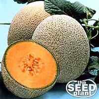 Hale's Best Jumbo Cantaloupe Seeds 25 SEEDS NON-GMO