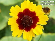1000 PLAINS COREOPSIS Tickseed Yellow Red Flower Seeds