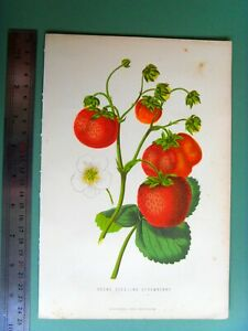 ANTIQUE 1874 Victorian chromolithograph beautiful KEEN'S SEEDLING STRAWBERRY
