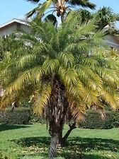 PHOENIX ROEBELENII 10 semi seeds Palma da dattero nana Pygmy date palm