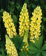 Lupin-Lupine Russell 'CHANDELIER' x 6 plug plants perennial Plant now
