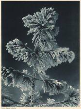 ALPINE SCENERY. Frosty pine tree, St Moritz 1935 old vintage print picture